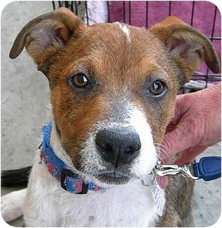 Australian Shepherd Mix Puppy for adoption in Vista, California - Luke
