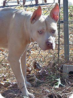 Pit Bull Terrier Mix Dog for adoption in Murphysboro, Illinois - Little Foot