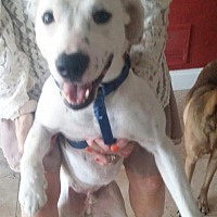 Labrador Retriever/Terrier (Unknown Type, Medium) Mix Dog for adoption in Dallas, Texas - Toby Lab