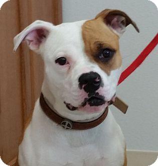American Bulldog Dog for adoption in Sterling, Colorado - Bela