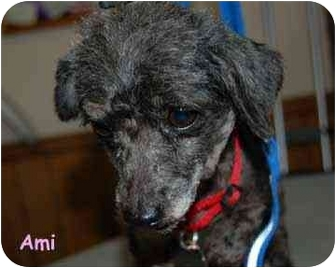 Poodle (Toy or Tea Cup) Dog for adoption in Dayton, Ohio - Ami