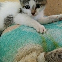 Turkish Van Cat for adoption in Cerritos, California - Dora