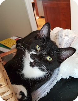 Domestic Shorthair Kitten for adoption in Smithfield, North Carolina - Stickers