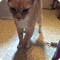 Domestic Shorthair Cat for adoption in selden, New York - Ophelia