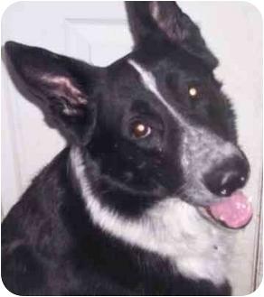 German Shepherd Dog Dog for adoption in Rochester, New York - Treble