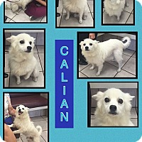 Adopt A Pet :: Calian - Elmhurst, IL