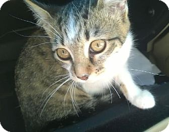 Ocicat Cat for adoption in Buford, Georgia - Fluttershy
