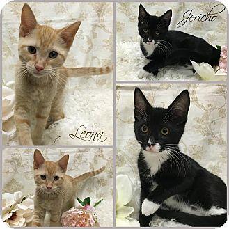 Domestic Shorthair Kitten for adoption in Joliet, Illinois - Jericho