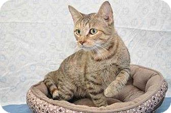 Domestic Shorthair Cat for adoption in South Bend, Indiana - Carrie