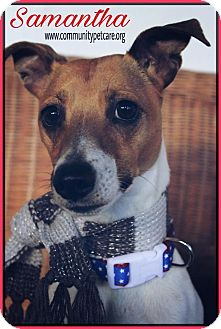 Jack Russell Terrier/Rat Terrier Mix Dog for adoption in Palmyra, New Jersey - Samantha