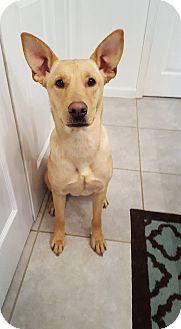 Labrador Retriever/German Shepherd Dog Mix Dog for adoption in New Oxford, Pennsylvania - Stacey