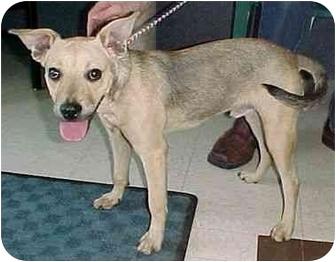 Terrier (Unknown Type, Medium)/German Shepherd Dog Mix Puppy for adoption in North Judson, Indiana - Waylon