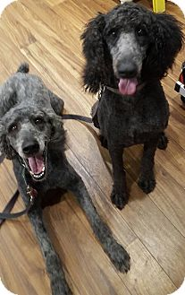 Poodle (Standard) Dog for adoption in Alpharetta, Georgia - Carley and Max