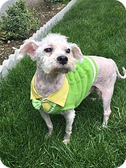 Poodle (Miniature) Mix Dog for adoption in Bronx, New York - Noel