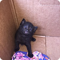 Adopt A Pet :: Primrose's Kittens - Harrison, NY