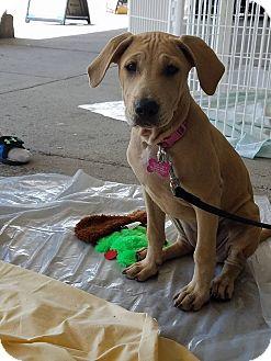 Labrador Retriever/Hound (Unknown Type) Mix Puppy for adoption in Harleysville, Pennsylvania - Dede