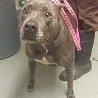Adopt A Pet :: Plata - Westminster, CA