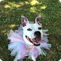 Adopt A Pet :: Hannah - levittown, NY
