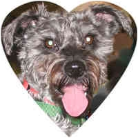 Schnauzer (Miniature)/Poodle (Miniature) Mix Dog for adoption in Herndon, Virginia - Tilly