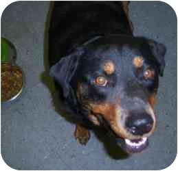 Rottweiler Dog for adoption in Augusta, Georgia - Rocky
