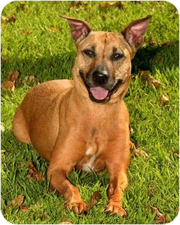 Labrador Retriever/Shepherd (Unknown Type) Mix Dog for adoption in West Los Angeles, California - Minnie