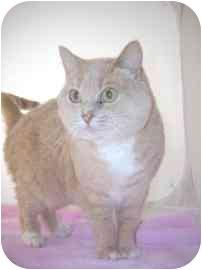 Domestic Shorthair Cat for adoption in North Charleston, South Carolina - Smithie