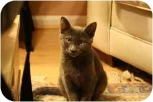 Russian Blue Cat for adoption in Arlington, Virginia - Marvin (&Louie)