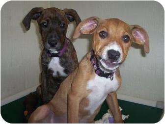 Hound (Unknown Type) Mix Puppy for adoption in North Charleston, South Carolina - Sparky