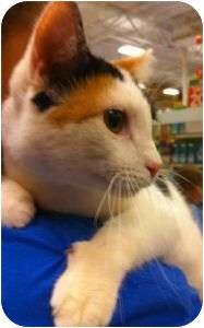 Domestic Shorthair Cat for adoption in Schertz, Texas - Chelsea