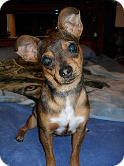 Chihuahua Mix Dog for adoption in Jerome, Idaho - Trapper