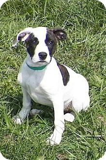 Labrador Retriever/Terrier (Unknown Type, Medium) Mix Puppy for adoption in Sullivan, Missouri - Jazzy