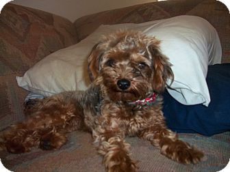 Yorkie, Yorkshire Terrier/Poodle (Toy or Tea Cup) Mix Dog for adoption in Hampton, Virginia - Oscar