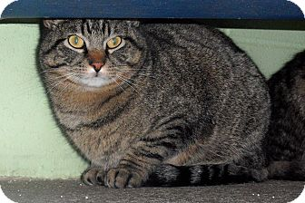 Domestic Shorthair Cat for adoption in Atchison, Kansas - Francis