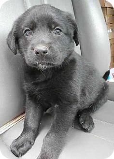 Anatolian Shepherd Mix Puppy for adoption in Avon, New York - Wanda
