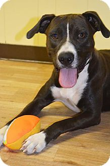 American Staffordshire Terrier/American Pit Bull Terrier Mix Dog for adoption in Houston, Texas - Prieta
