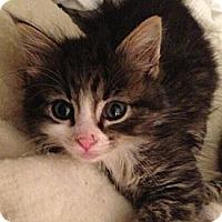 Adopt A Pet :: Ty - Reston, VA