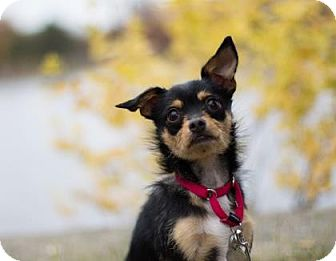 Chihuahua/Terrier (Unknown Type, Small) Mix Dog for adoption in Lowell, Massachusetts - Butterfinger
