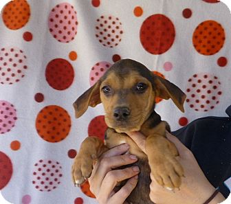 Beagle Mix Puppy for adoption in Oviedo, Florida - Fay
