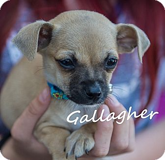 Chihuahua/Pug Mix Puppy for adoption in San Marcos, California - Gallagher
