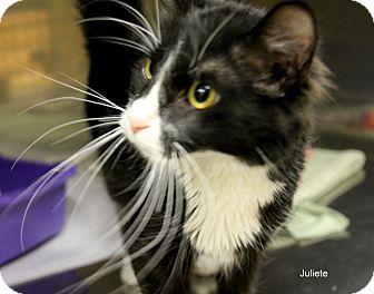 Domestic Shorthair Cat for adoption in Hibbing, Minnesota - Juliet