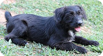 Terrier (Unknown Type, Medium) Mix Puppy for adoption in Yadkinville, North Carolina - Lucy