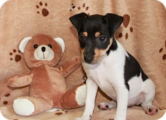 Jack Russell Terrier Mix Puppy for adoption in Salem, New Hampshire - Re-Pete