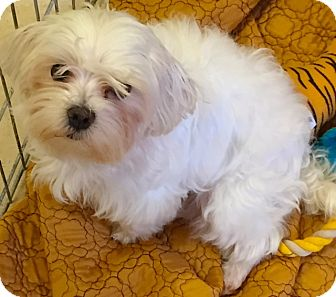 Maltese/Poodle (Miniature) Mix Dog for adoption in Boca Raton, Florida - Luna
