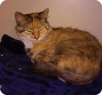 Domestic Mediumhair Cat for adoption in Franklin, New Hampshire - Tinkerbell
