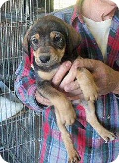 Dachshund/Beagle Mix Puppy for adoption in Brookeville, Maryland - Liv