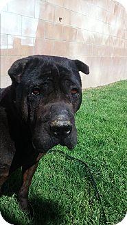 Shar Pei Dog for adoption in Mira Loma, California - Pete - pending