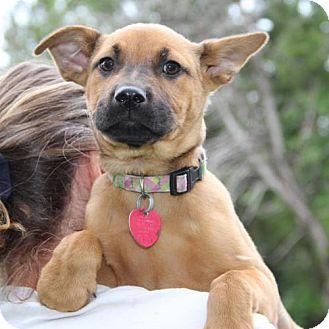 Retriever (Unknown Type)/Shepherd (Unknown Type) Mix Puppy for adoption in Olympia, Washington - Ms Kendall