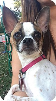 Chihuahua Mix Dog for adoption in Manhattan, Kansas - Cali