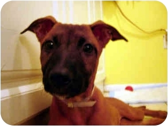 German Shepherd Dog Mix Puppy for adoption in Jersey City, New Jersey - LuLu