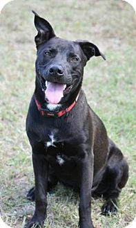 Labrador Retriever Mix Dog for adoption in Aiken, South Carolina - Frank
